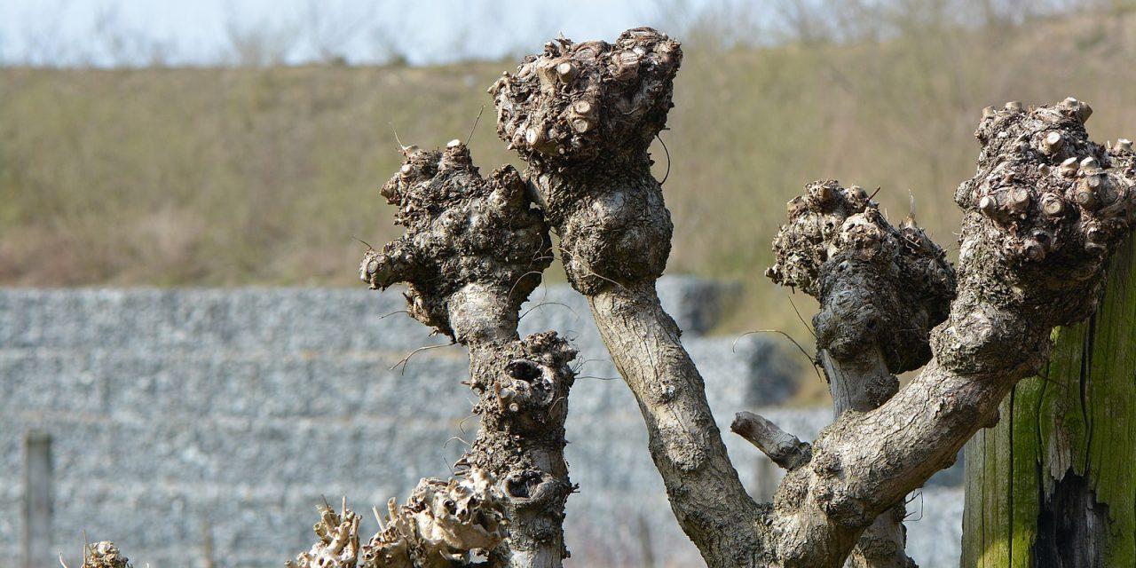 Les trognes, arbres paysans