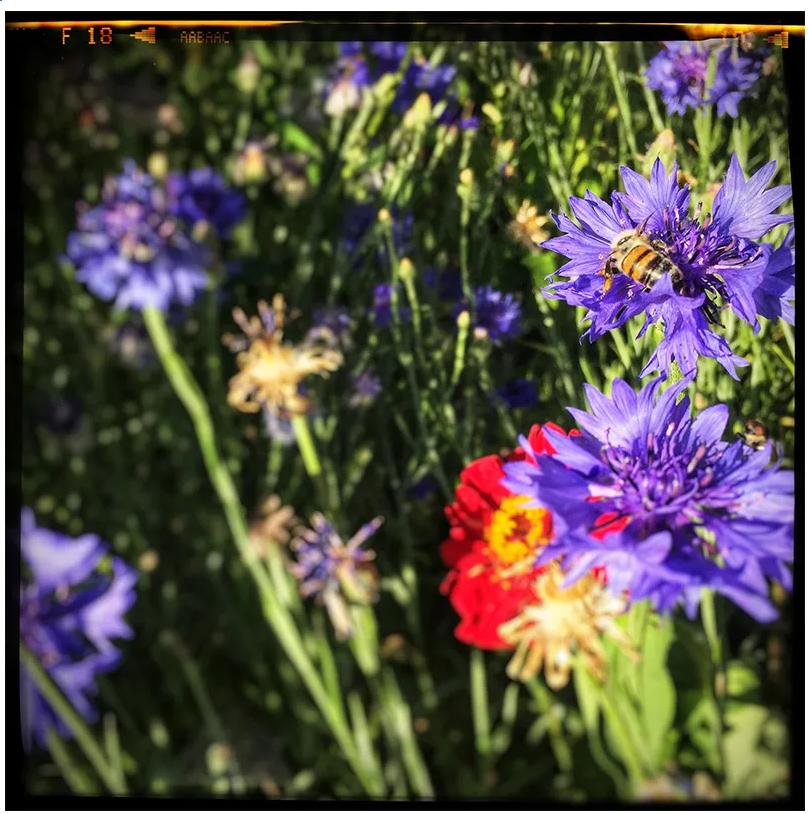 Fleurs-mellifères-la-ferme-dautonome-le-blaireau